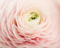 Pink Ranunculus Flower with Water Drops Stock Photos