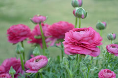 Pink Ranunculus. Flowers in a garden Royalty Free Stock Photos