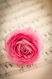 Pink ranunculus flowers with green leaves Royalty Free Stock Photography