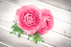 Pink ranunculus flowers with green leaves Royalty Free Stock Photos