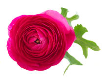 Pink ranunculus flowers Royalty Free Stock Images