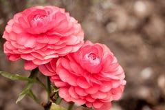 Free Pink Ranunculus Garden Royalty Free Stock Photo - 141663565