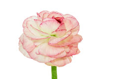 Pink Ranunculus isolated on white background Stock Photos