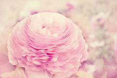 Pink Ranunculus Royalty Free Stock Photo