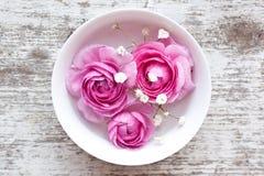 Pink ranunculus Royalty Free Stock Image