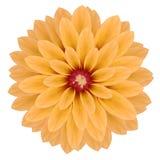 Pink realistic chrysanthemum flower Stock Image
