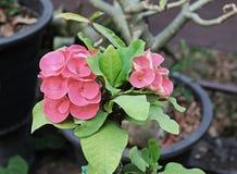 Pink-red κορώνα των λουλουδιών αγκαθιών με τα φύλλα Στοκ φωτογραφία με δικαίωμα ελεύθερης χρήσης