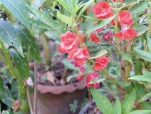 Pink-red λουλούδια τριαντάφυλλων με τα φύλλα Στοκ εικόνες με δικαίωμα ελεύθερης χρήσης