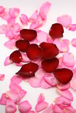 Pink and red. Petals isolated on white Stock Photos