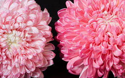 Pink red aster flowers Stock Image