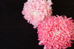 Pink red aster flowers Stock Photos