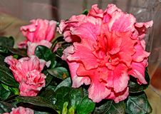 Pink red begonia ornamental flower with buds, dark green leaves,. Close up Stock Images