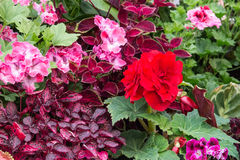 Pink and red begonia tuberous Stock Images
