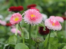 Pink and Red Bellis. Flowers Royalty Free Stock Images