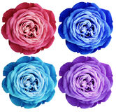 Pink-red blue turquoise violet-white rose flowers. white isolated background with clipping path.  Closeup no shadows. Royalty Free Stock Photos