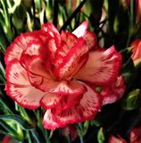 A pink-red carnation flower on the background of green stems and leaves stock images