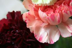 Pink and red carnations 1 Royalty Free Stock Photography