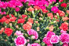 Pink and red carnations background at Flower Market in Hong Kong, selective focus. Floristry and floriculture backdrop.  stock photography