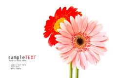 Pink and red chrysanthemum flower Stock Photo
