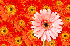 Pink and red chrysanthemum flower Royalty Free Stock Photos