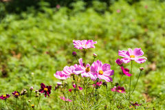 Pink and red cosmos flowers Royalty Free Stock Image