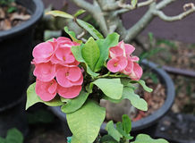 Pink-red Crown of thorns flowers with leaves. Pink-red Crown of thorns flowers Royalty Free Stock Photography