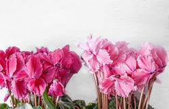 Pink and red cyclamen on a light background Royalty Free Stock Photo