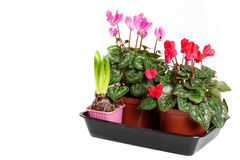 Pink and Red cyclamen on a white background. Stock Photography