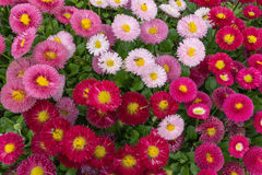 Pink and red English daisy flower in outdoor park day light.  Stock Image