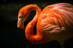 Pink and Red Flamingo Bird Stock Photo