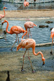 Pink and red Flamingo. Proud pink Flamingo in the Moscow zoo to walk around the pond with other living beings Royalty Free Stock Images