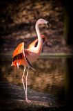 Pink and Red Flamingo Standing Near Body of Royalty Free Stock Photo