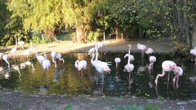 Pink and red flamingos in the Prague Zoo stock footage