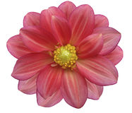 Pink and red flower garden, white  isolated background with clipping path. Royalty Free Stock Image