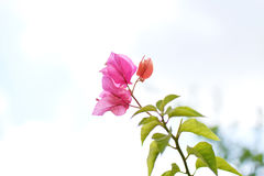 Pink and red flower green leaves plants royalty free stock photo