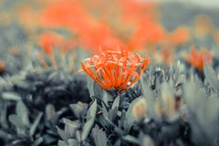 Pink and red flower Ixora with green leaf blur garden nature background stock photos