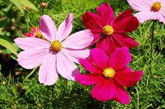 Pink and red flowers. Pink and red wildflowers in meadow Stock Photo