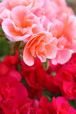 Pink and red flowers. Close-up of pink and red flowers of geranium royalty free stock images