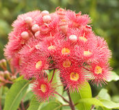 Pink red flowers gum tree eucalyptus phytocarpa Royalty Free Stock Photos