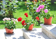 Pink and red flowers in pots on ledge Stock Photography