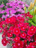 Pink and red flowers. Pink and red sweet william flowers Royalty Free Stock Images
