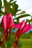 Pink-red flowers with white line Royalty Free Stock Photo