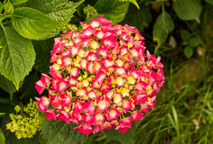 Pink red flowers with a yellow core close-up Royalty Free Stock Photography