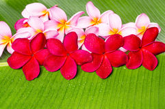 Pink and Red Frangipani Flowers Stock Photos