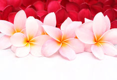 Pink and red Frangipani Plumeria flower. On white background Stock Photo