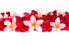 Pink and red Frangipani Plumeria flower. On white background Royalty Free Stock Photo