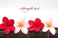 Pink and red Frangipani Plumeria flower. On the mat Stock Image