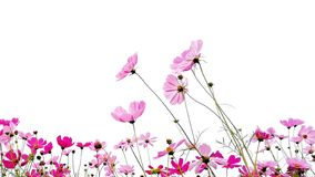 Cosmos flowers or Mexican aster with green stem isolated on white background. Pink and Red garden cosmos flowers or Mexican aster with green stem isolated on royalty free stock photos