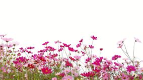 Cosmos flowers or Mexican aster with green stem. Pink and Red garden cosmos flowers or Mexican aster with green stem isolated on white background royalty free stock image