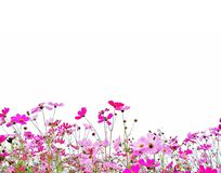 Cosmos flowers or Mexican aster with green stem. Pink and Red garden cosmos flowers or Mexican aster with green stem isolated on white background stock photography